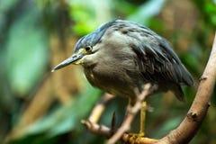 Green-backed heron posing on tree Stock Photography