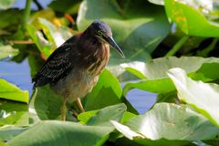 Green-backed heron in wetland Stock Images