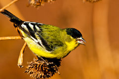 Green Backed Lesser Goldfinch Stock Photography