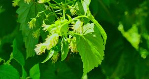 Green backgrond with hop. Branch with fresh green hop cones. Blured for green natural background stock footage