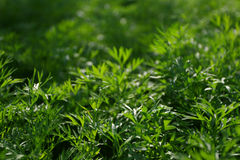 Green background. Carrot tops in sun light Royalty Free Stock Image