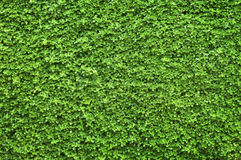 Green background. Fresh green background with buds Royalty Free Stock Photo