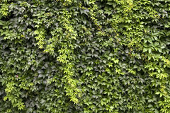 Green background. Wall covered with Virginia creeper Stock Photos