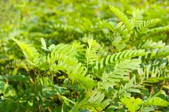 Green background. Branches of an acacia in the early morning Stock Photos