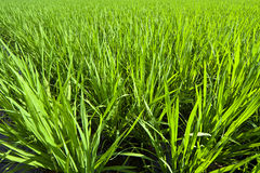 Green background. The green padi field with new grass Royalty Free Stock Photo