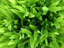 Green background. Green bamboo leaves background, from above Stock Images