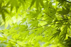 Green background. In botany, a leaf is an above-ground plant organ specialized for photosynthesis. For this purpose, a leaf is typically flat (laminar) and thin Royalty Free Stock Photos