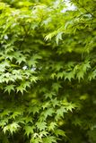 Green background. In botany, a leaf is an above-ground plant organ specialized for photosynthesis. For this purpose, a leaf is typically flat (laminar) and thin Royalty Free Stock Images