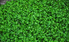 Green background. Close up of green irish moss Stock Photo