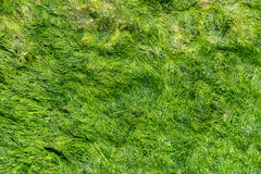 Green background of algae seaweed. Stone with bright seaweed closeup. Stock Photography