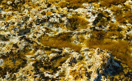 Green background of algae seaweed. Stone with bright seaweed closeup. Natural velvet texture of sea grass. Sea plant Stock Photography