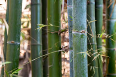 Green background bamboo Stock Image