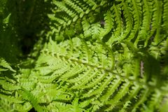 Green background of beautiful fern leaves. Bright green foliage, natural floral texture and backdrop, copy space Royalty Free Stock Photo
