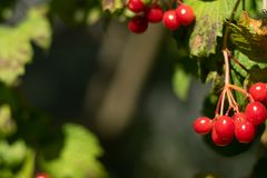 Green background with berries of guelder rose stock image