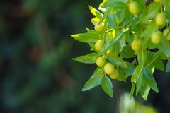 Green background of branches of jujube jujube real, Chinese date, capiinit, jojoba, lat. In the process jujuba. It`s summer