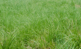 Green background of bushy fresh grass Stock Image