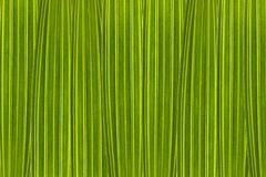 Green background composed of palm tree leaves in high magnification royalty free stock photo