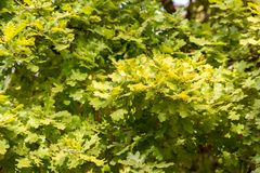 Thick green background of oak leaves Royalty Free Stock Images