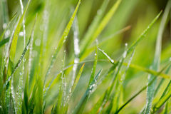 Green background, detail of grass Royalty Free Stock Photo