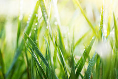 Green background, detail of grass Royalty Free Stock Image