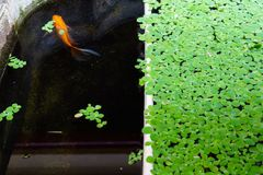Green background with duckweed Royalty Free Stock Photography
