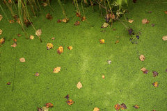 Green background of a duckweed on the swamp Stock Photos