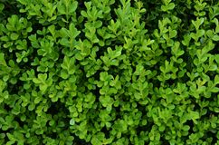 Green background with evergreen shrub Royalty Free Stock Photos
