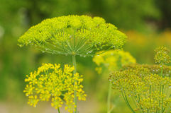 Green background with flowers of dill Royalty Free Stock Images