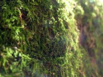 Green background of forest moss in defocus royalty free stock photo