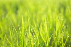 Green background by the fresh wild grass with water drops over sunbeam Royalty Free Stock Photos