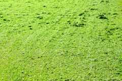 Green background of freshly cut grass. Natural texture of field Stock Images