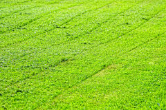 Green background of freshly cut grass. Natural texture of field Royalty Free Stock Photo