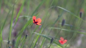 On a green background, gentle, spring wild flowers.Small, bright red flowers. The breath of spring in the guise of airiness and harmony.The boxes of the field stock video