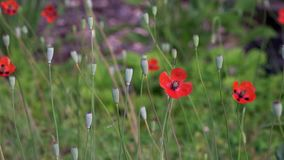 On a green background, gentle, spring wild flowers. Small, bright red flowers. The breath of spring in the guise of airiness and harmony.The boxes of the field stock video footage