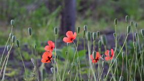 On a green background, gentle, spring wild flowers.Small, bright red flowers. The breath of spring in the guise of airiness and harmony.The boxes of the field stock footage
