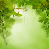 Green background with grape Stock Photos