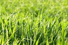 Green background from a grass on a meadow Royalty Free Stock Photos