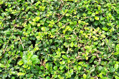 Green background with green leaves Stock Images