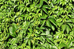 Green background. Hedge, green background with vine leaves Stock Photos