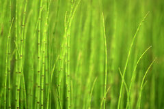 Green background of horsetails Royalty Free Stock Photos