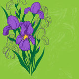 Purple iris flower. Green background with iris flowers Royalty Free Stock Photo