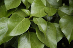 Green background with ivy Royalty Free Stock Photography