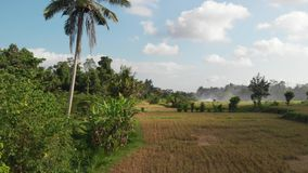 Green background. 4K flying drone video of rice field on Bali island. Green and yellow landscape. Rice farm, grass. Nature. Indonesia royalty free stock photos
