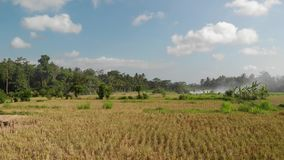 Green background. 4K flying drone video of rice field on Bali island. Green and yellow landscape. Rice farm, grass. Nature. Indonesia royalty free stock image