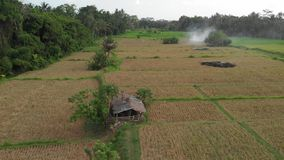 Green background. 4K flying drone video of rice field on Bali island. Green and yellow landscape. Rice farm, grass. Nature. Indonesia stock image