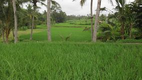 Green background. 4K flying drone video of rice field on Bali island. Green and yellow landscape. Rice farm, grass. Nature. Indonesia stock photos