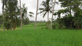 Green background. 4K flying drone video of rice field on Bali island. Green and yellow landscape. Rice farm, grass. Nature. Indonesia stock photo