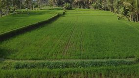 Green background. 4K flying drone video of rice field on Bali island. Green and yellow landscape. Rice farm, grass. Nature. Indonesia stock photography