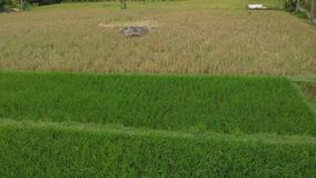 Green background. 4K flying drone video of rice field on Bali island. Green and yellow landscape. Rice farm, grass. Nature. Indonesia royalty free stock photo