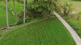 Green background. 4K flying drone video of rice field on Bali island. Green and yellow landscape. Rice farm, grass. Nature. Indonesia royalty free stock photography